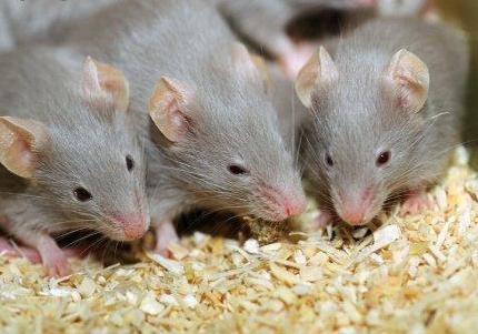 Обнаружено средство восстановления памяти – первые эксперименты на мышах