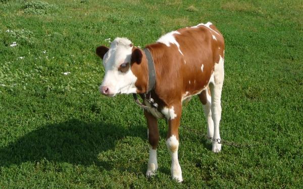 Клон теленка с необычным геном от эстонских ученых