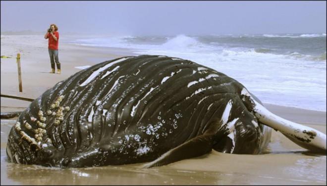 Американцы взорвут кита, который выбросился на берег