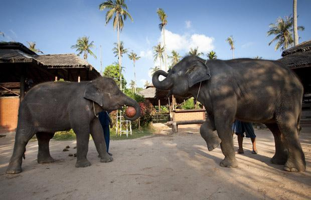 Слон перепутал банан и съел смартфон. Видео